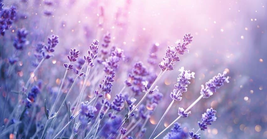 Lavendel in der Natur